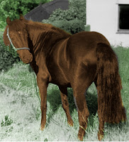 liver-chestnut welsh mountain pony.
