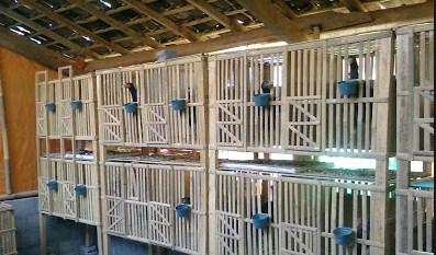 Image result for image kandang ayam bangkok