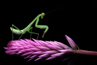 Green praying mantis perched on a purple flower on a black background