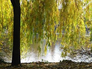 el sauce lloron, Salix babylonica en los Bosques Comestibles