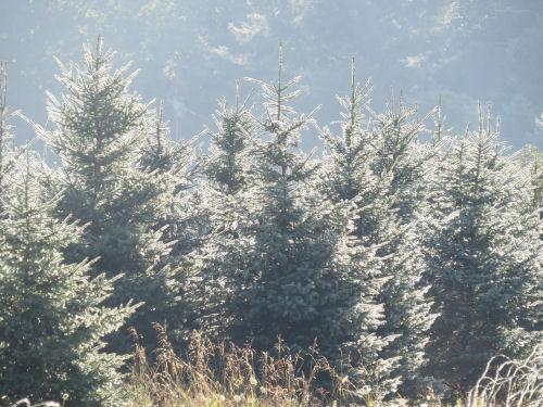 light on spruce trees