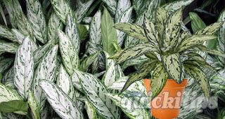 Planting tips of Aglaonema Silver Queen and Aglaonema Malay Queen