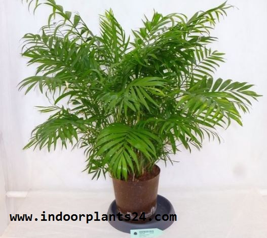 PARLOR  PALM indoor plant picture potted