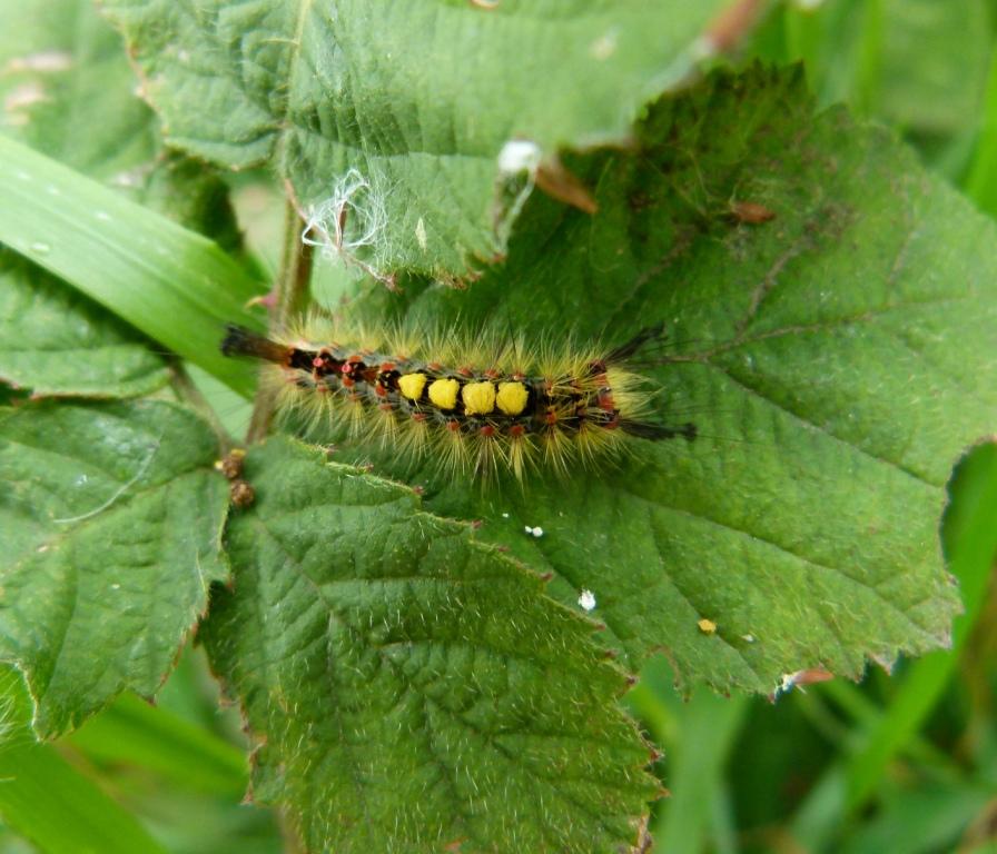 Urban Wildlife Jottings Caterpillars Ladybirds Slowworm