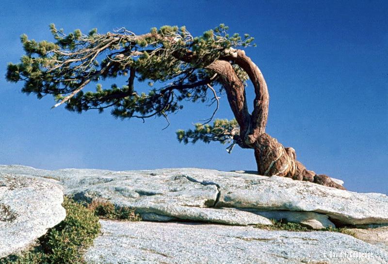 ansel adams pine tree - photo #21