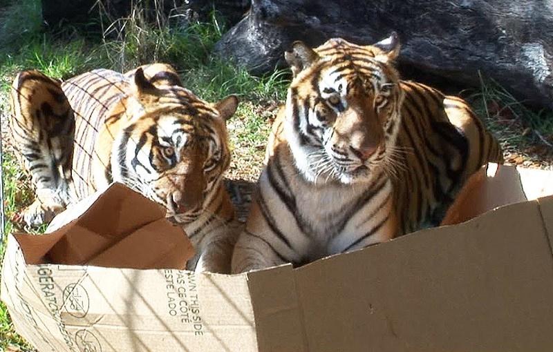 Dois tigres numa caixa de cartão