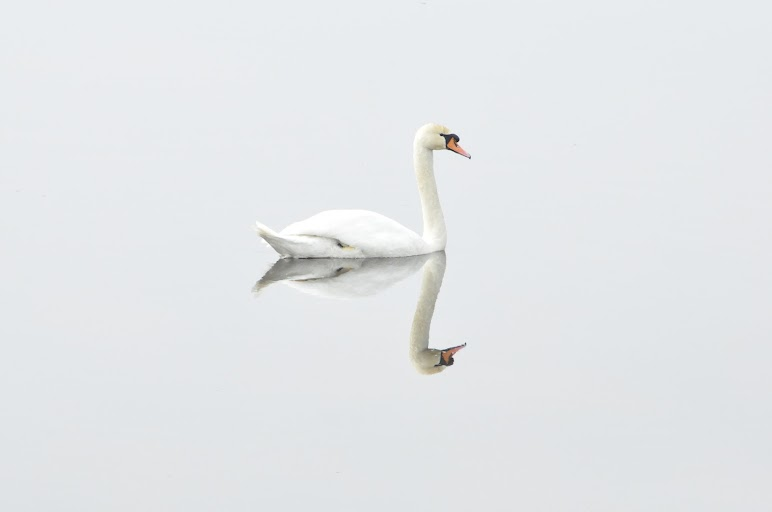 Reflection of Swan on Water