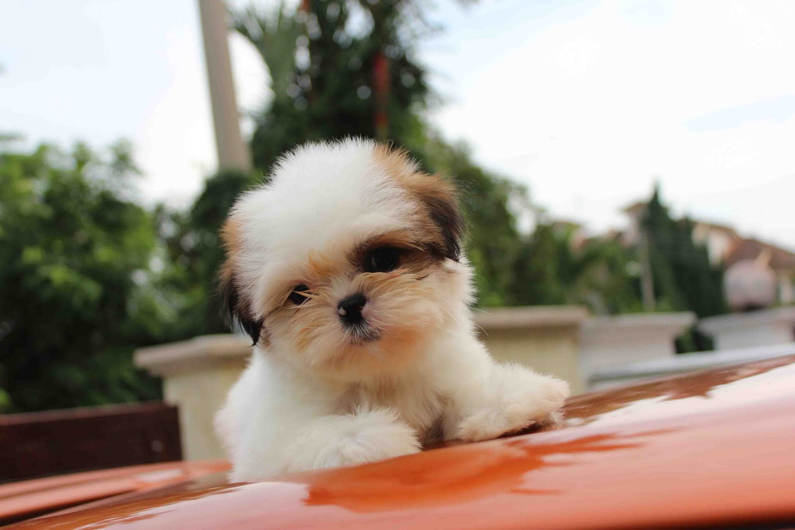 Genoeg LovelyPuppy: Mini Shih Tzu Puppies For Sales @ RM499 ONLY!!! #CC71