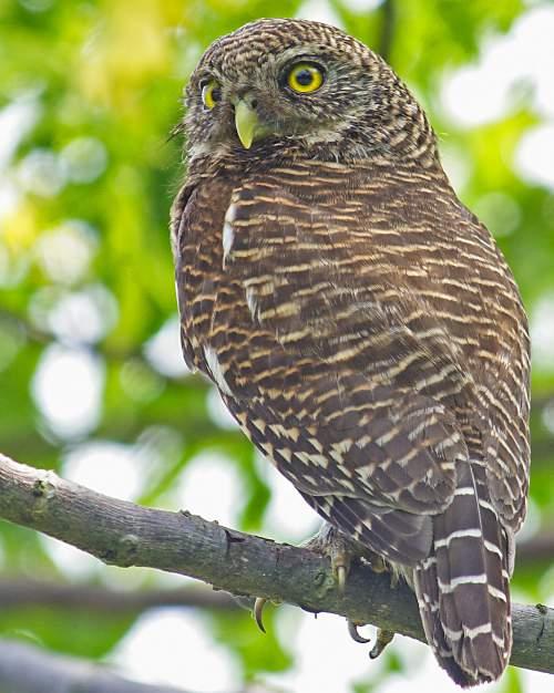 Indian birds - Image of Asian barred owlet - Glaucidium cuculoides