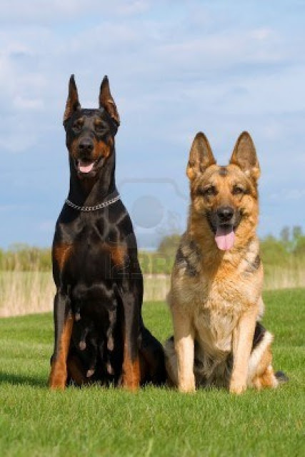 Dog breeds originating in Germany
