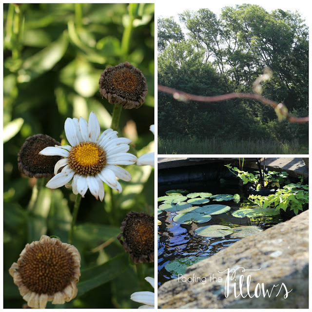 June gardening chores, zone 8A, daisies, water gardens, ponds, algae