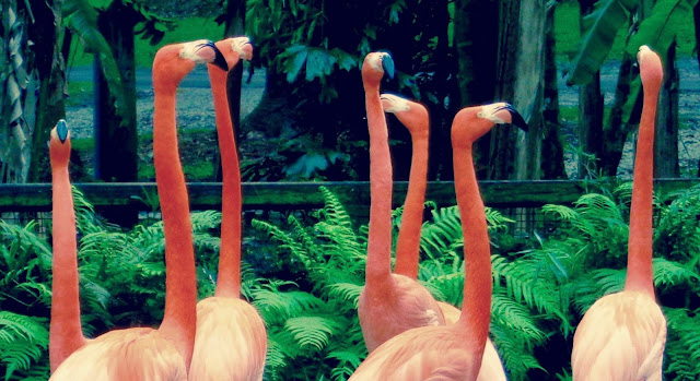 Flamingos at Flamingo Gardens