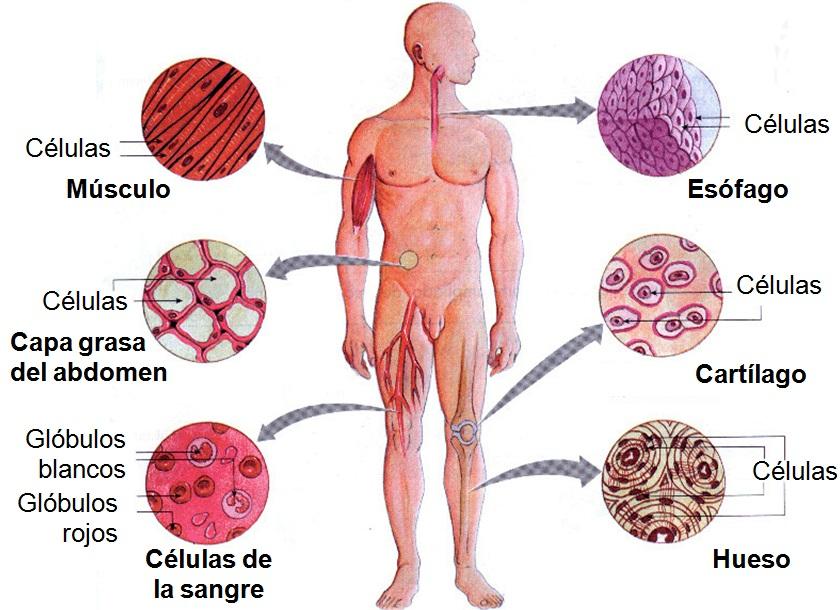 Tejidos y organos