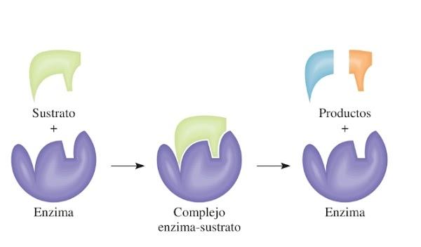 Catálisis enzimática - Raymond Chang