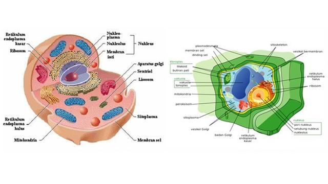 Sel Hewan dan sel tumbuhan