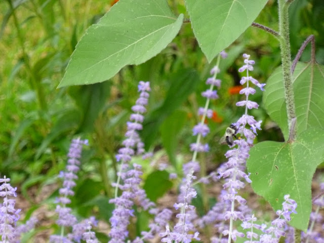 Perovskia atriplicifolia, Russian Sage and Bumble Bee