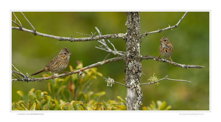 Lincoln Sparrows