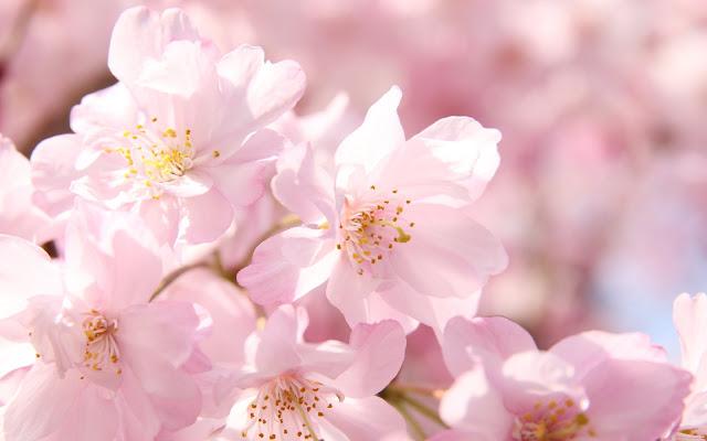 2018年横浜で人気のお花見スポット15選!子供と行ってみたいおすすめの桜の名所&穴場まとめ