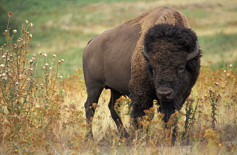 Mammals Animals: American bison
