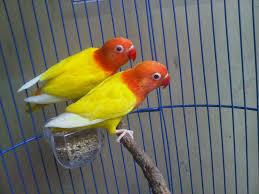 Kunci Rahasia Ternak Lovebird Lutino Dan Lovebird Albino