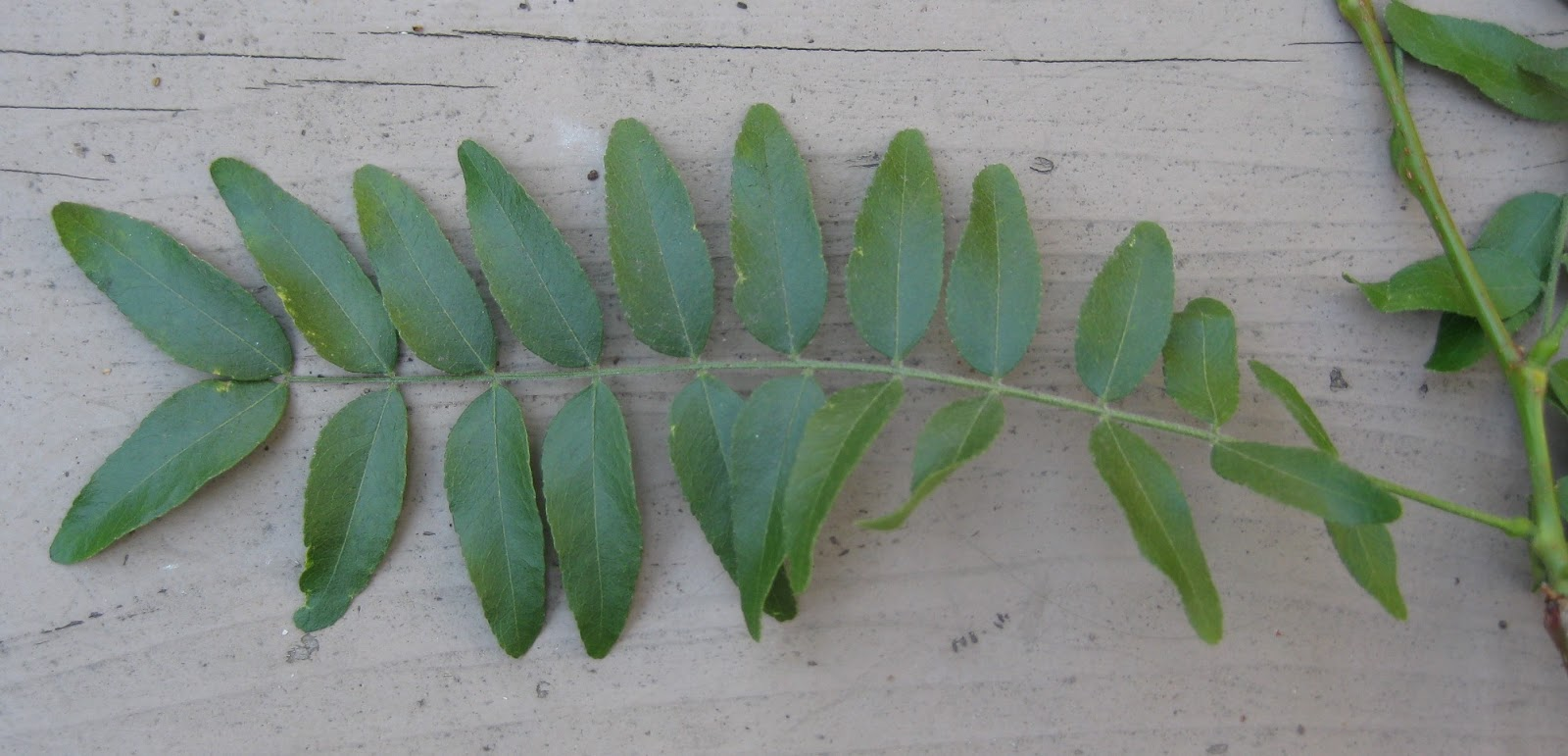 Trees of Santa Cruz County: Gleditsia triacanthos 'Inermis ...