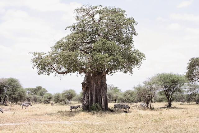 tansania safari afrikka matka tarangire