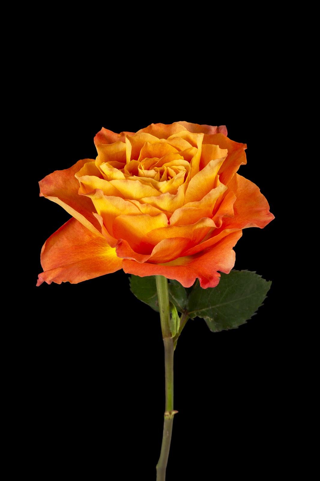 banco de im u00e1genes  flores fotos de stock gratuitas para