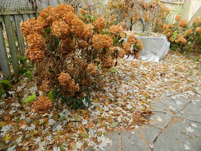 Pruning Annabelle Hydrangeas in Greenwood-Coxwell Toronto Fall Garden Cleanup before by Paul Jung Gardening Services