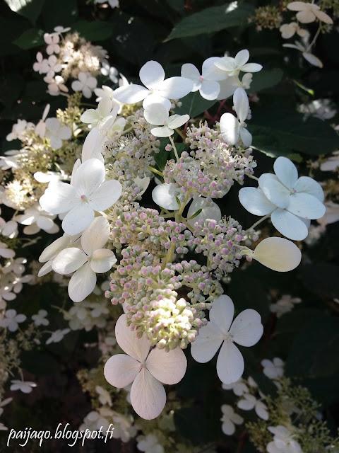 mustilanhortensia kukkii