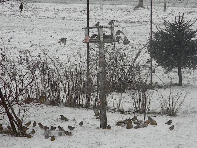 ptaki, zimowe dokarmianie, karmnik, grubodzioby
