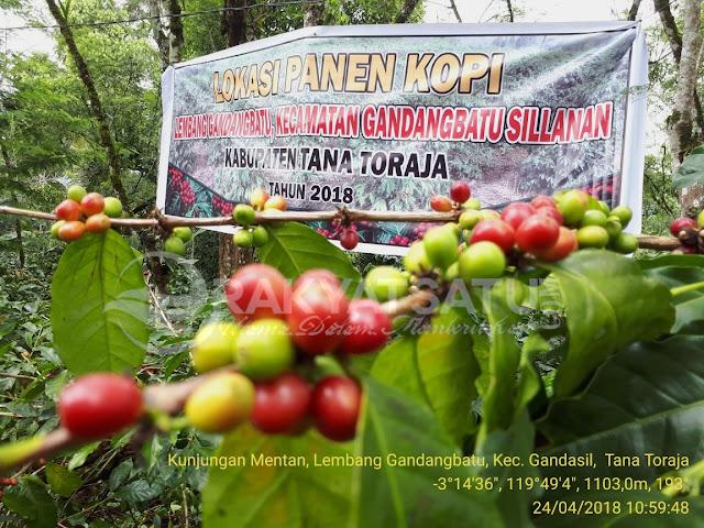 Sejuta Batang Bibit Kopi Siap Ditanam oleh Menteri Pertanian dan Warga Gandang Batu Sillanan