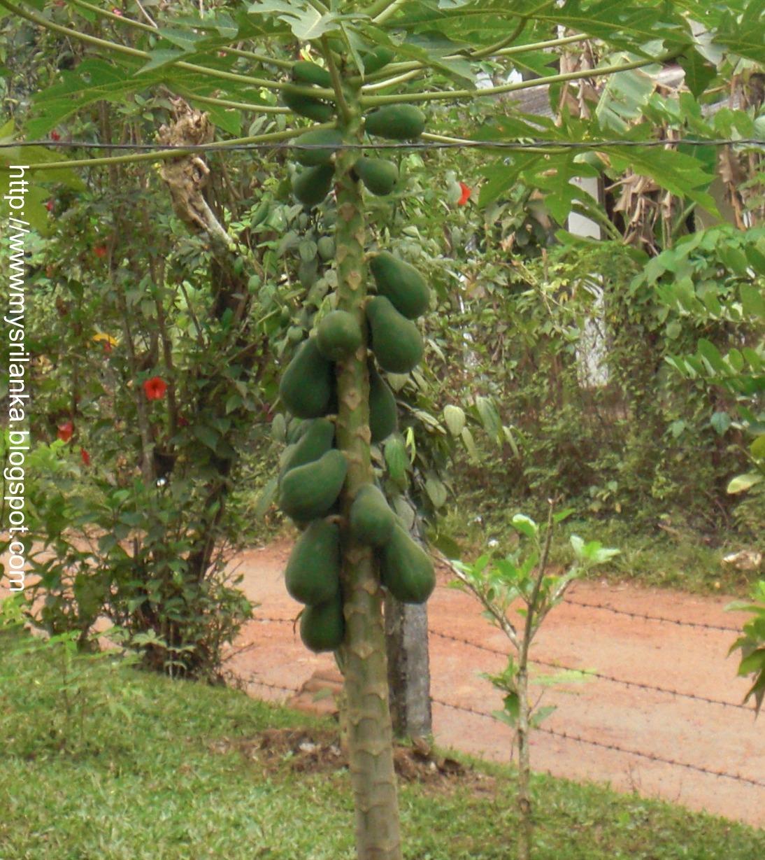 Sri Lankan Trees