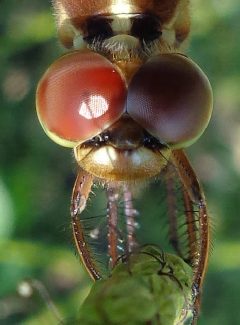 Close-up of dragonfly eyes