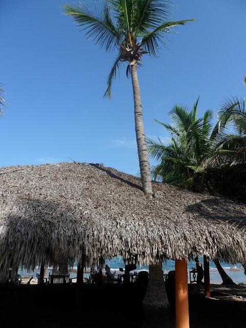 Mata de coco entre las canas, Playa Najayo