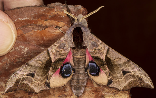 Eyed Hawk-moth, Smerinthus ocellata.  Crowborough, 3 July 2017.