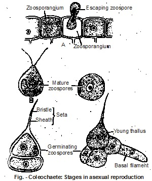 Coleochaete asexual reproduction