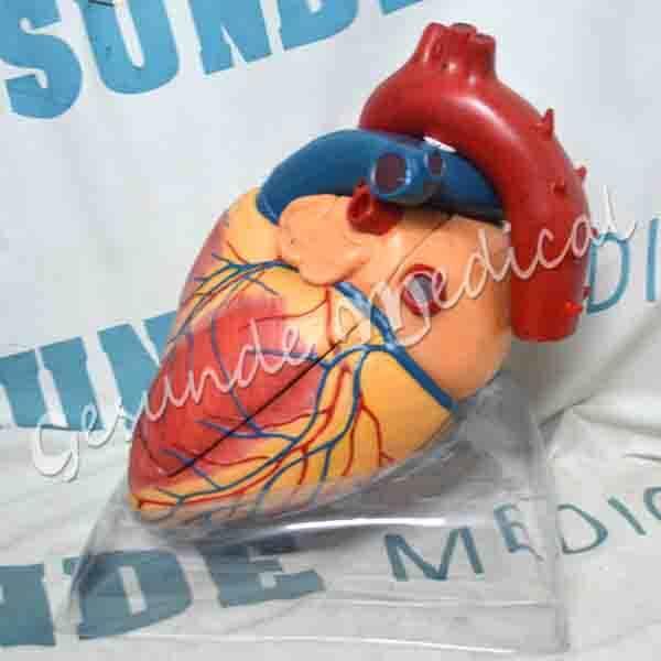 toko torso organ jantung dewasa