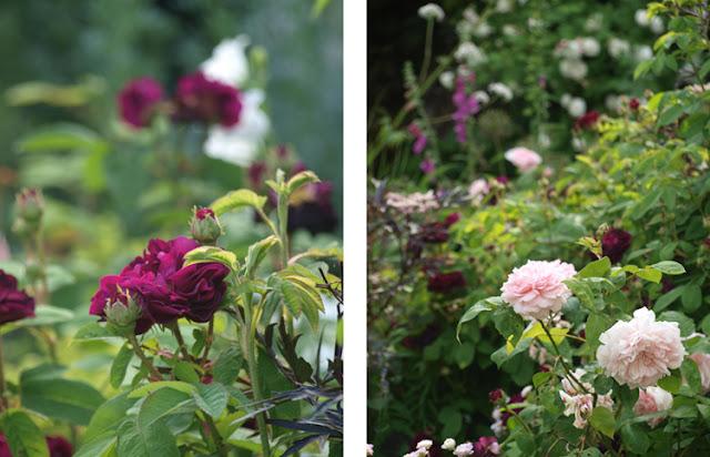 rose Tuscany Superb og Austinrose Eglantyne