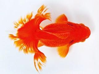 Gambar Ikan Mas Koki Tosakin