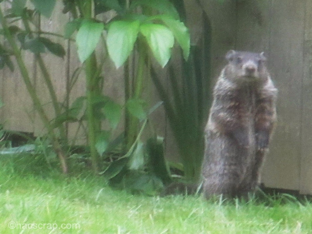 Groundhogs in the Garden