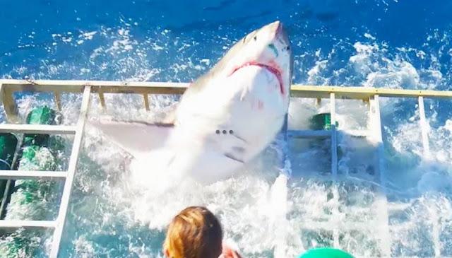 tubarão branco jaula nadador perigo arriscado