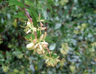 cálices persistentes de las flores de la abelia