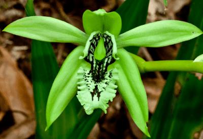 Foto Bunga Anggrek Hitam