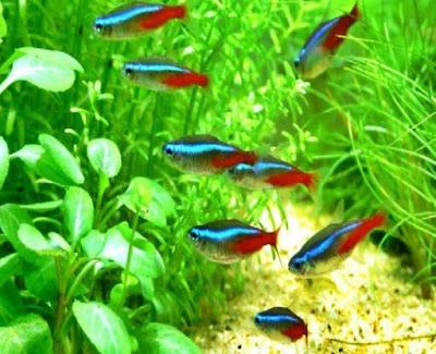Penyakit Ikan Neon Tetra dan Cara Mengobatinya