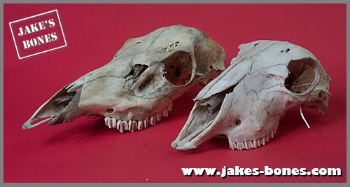 The difference between deer and sheep skulls : Jake's Bones