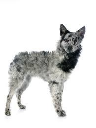 Anjing Ras Mudi