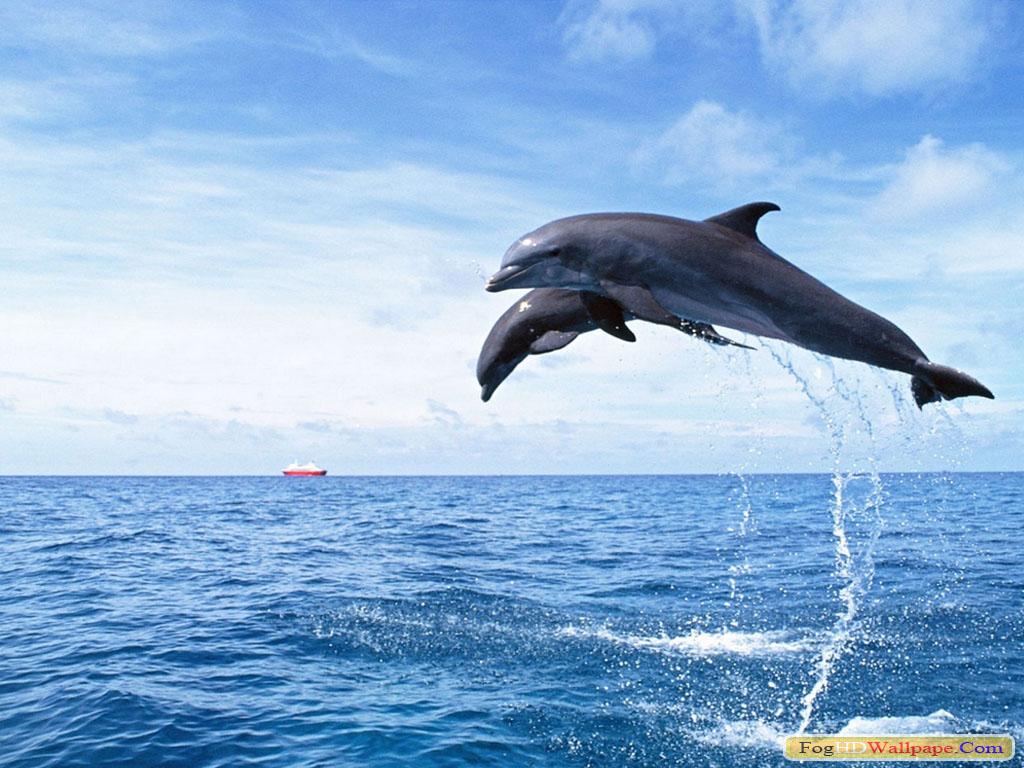 Dolphin Fish Hd Wallpaper Fog Hd Wallpaper
