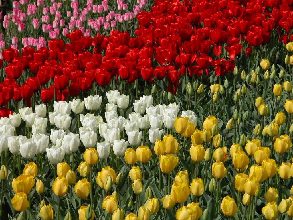 Flower Picture: Tulips Pictures # 7
