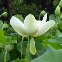 花博記念公園鶴見緑地のハスの花