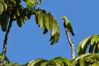 Lorito momoto de Palawan: Prioniturus platenae
